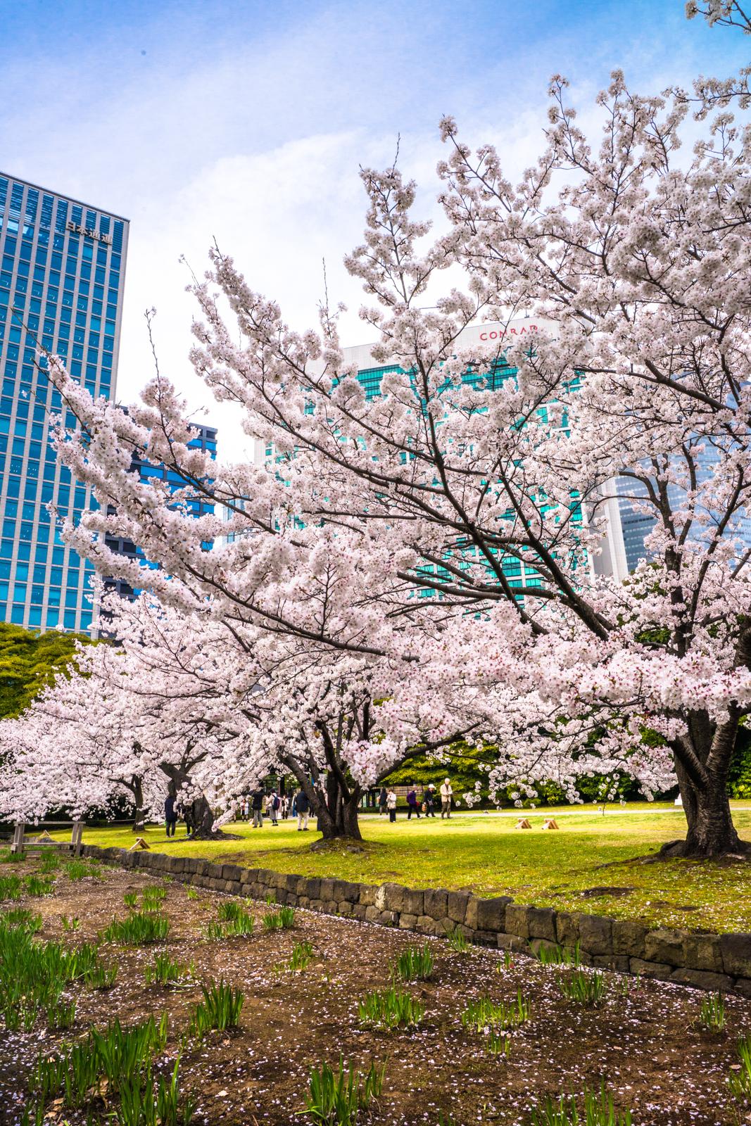浜離宮恩賜庭園の桜の写真