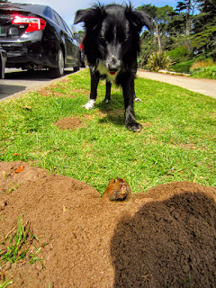 A dog looks at a groundhog peeking out of a hole.