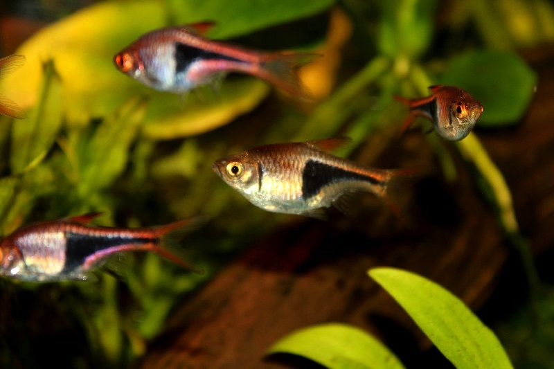 Gambar Rasboras - Teman Ikan Guppy