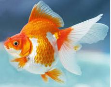 koki Ikan Hias Air Tawar Yang Bisa Dicampur Pada Satu Akuarium