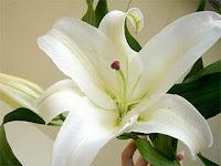 Bunga Lily Bunga Princess