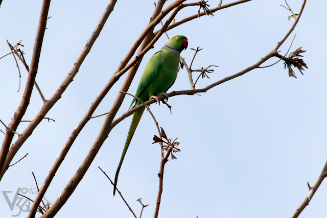 Rose ringed Parakeet male