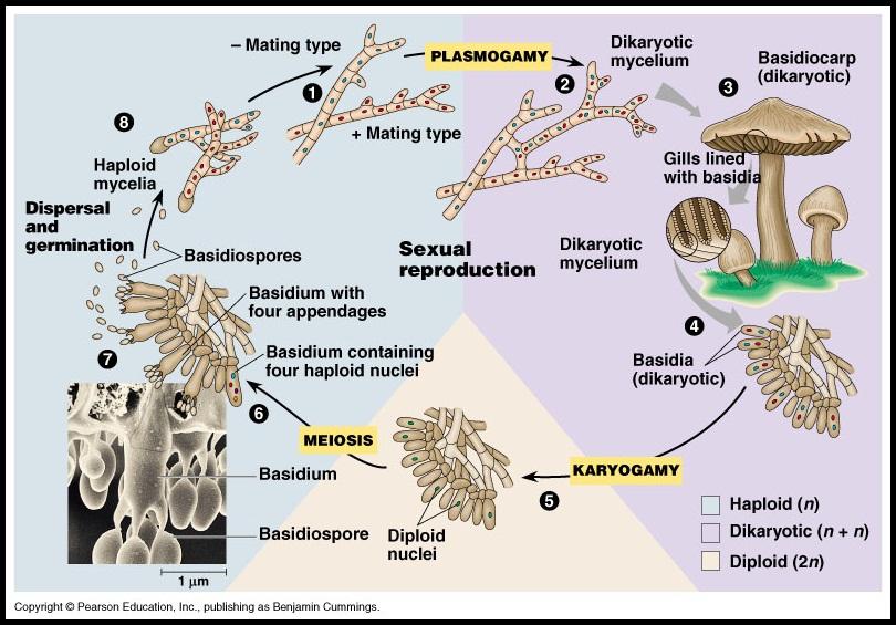 Reproduksi seksual dan aseksual pada basidiomycota asexual reproduction
