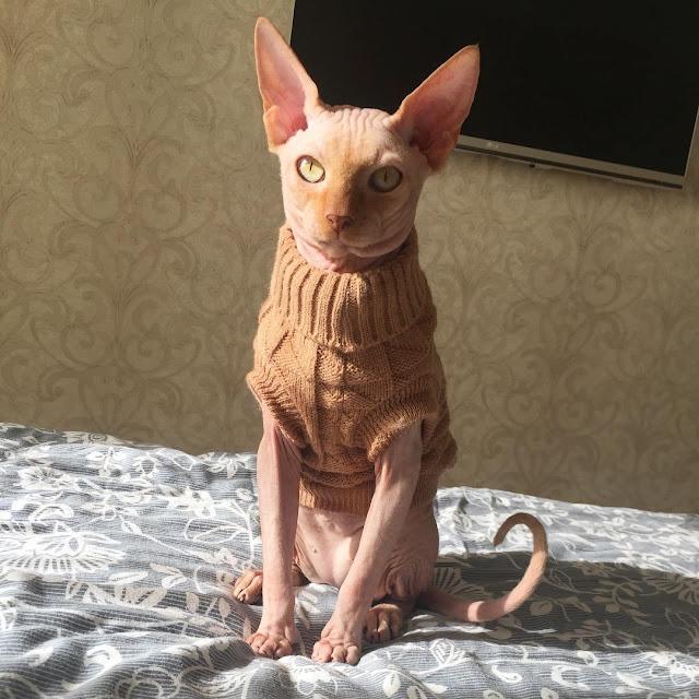 Tiêm thuốc mê cho mèo bất tỉnh rồi đè ra xăm hình