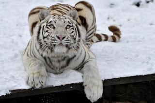 Tigre Blanco 0045