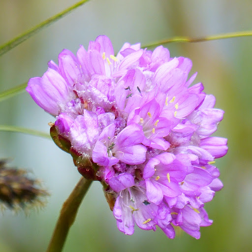 http://wild-flowers-of-europe.blogspot.nl/2014/10/armeria-arenaria-subsp-confusa.html