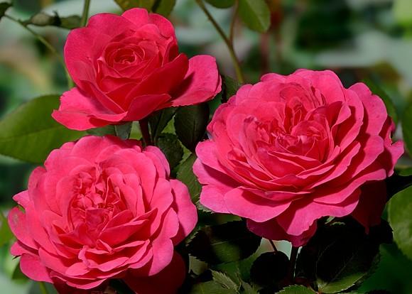 Sir John Betjeman роза сорт