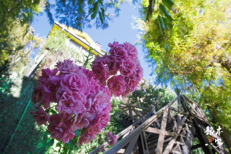 清境隱藏版玫瑰花園|普羅旺斯玫瑰莊園~選對季節有機會看到盛開的玫瑰喔