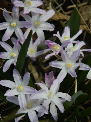 Chionodoxa Glory of the Snow at Toronto Botanical Garden by garden muses-not another Toronto gardening blog