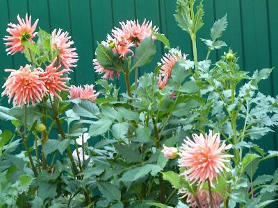 георгины в моем саду
