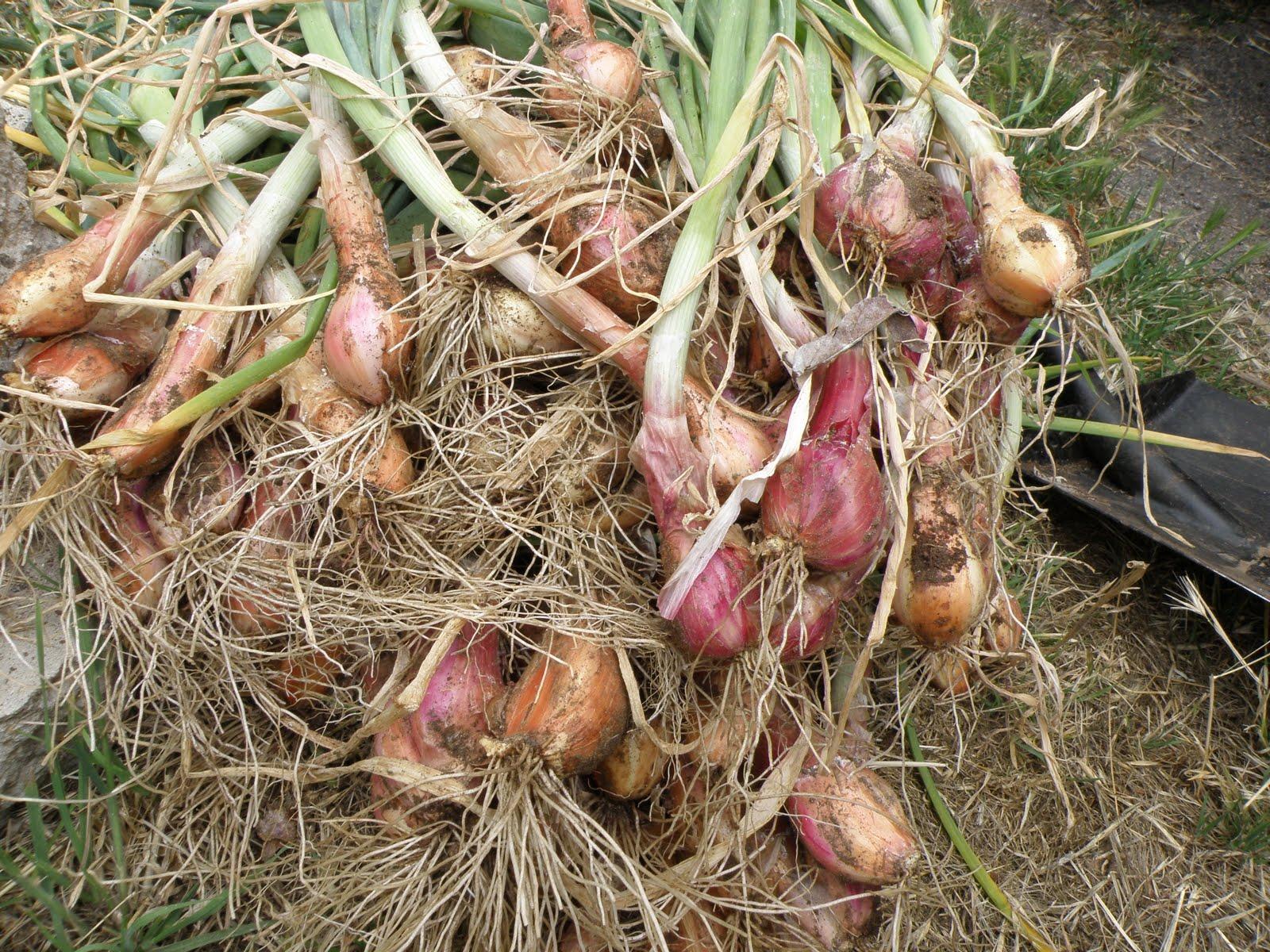A Thinking Stomach: Shallots and Potato Onions