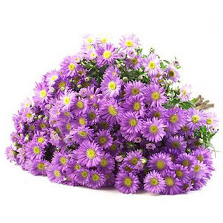 Gambar Bunga Aster yang Cantik 6