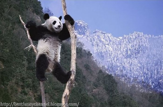 Panda on the tree.