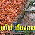 ช่องทางรวย!! วิธีเลี้ยงปลาทับทิมในกระชัง เลี้ยงกินก็ได้ เลี้ยงขายก็รวย