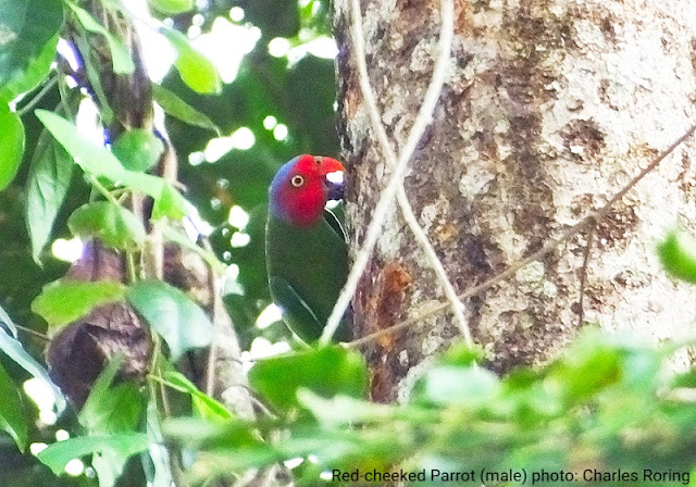 Birding in Lowland forest of West Papua