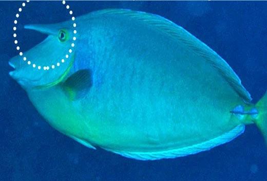 peixe unicórnio