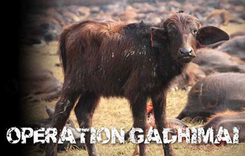 Festival Bunuh Hewan yang Menyeramkan Di Nepal