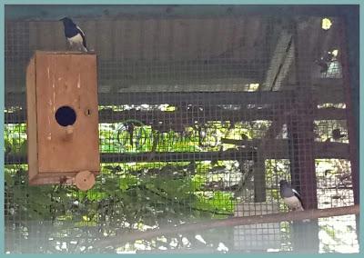 Salah satu burung pengkicau yaitu burung kacer masuk dalam golongan burung bimorfik dalam  Membedakan Jenis Kelamin Burung Kacer dan Memilih Bahan