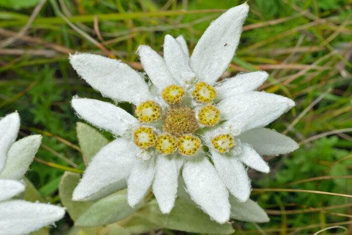 The ugly dame the edelweiss edelweiss in nazi germany mightylinksfo