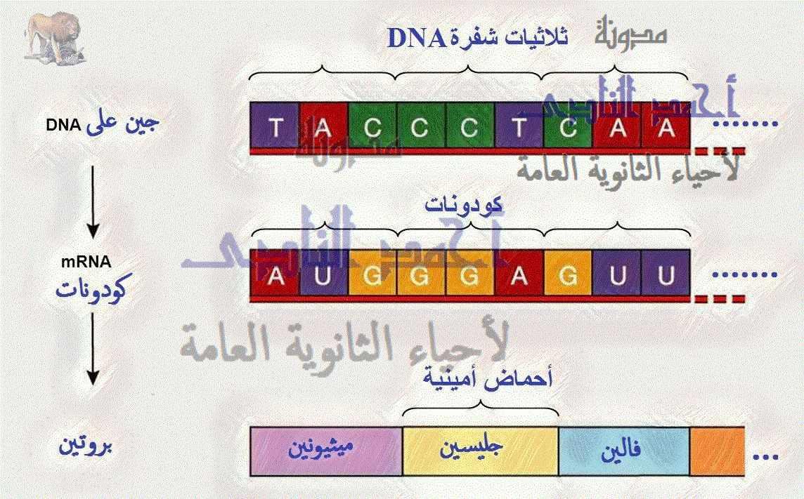 الجين –M.RNA – الشفرة الوراثية - كودون الوقف – كودون البدء- الثالث الثانوى