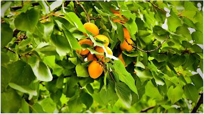 صور خلفيات فاكهة المشمش بجودة HD