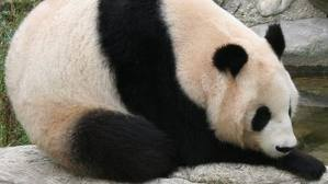 Cute Fat Cat Wallpaper Funny Fat Panda Wallpaper Funny Animal