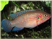 Jewel Cichlid Fish Pictures