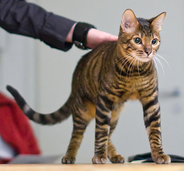 toyger-cat-list-trend