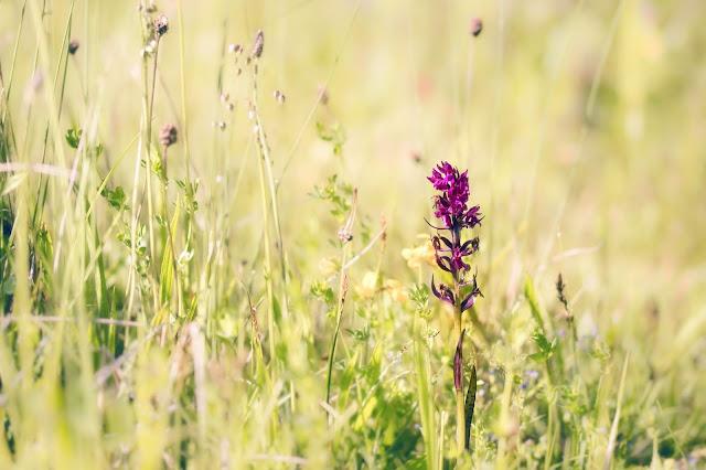 orchis, orchidée, orchis male, flower, fleur,