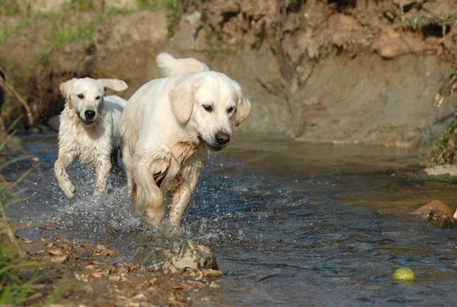 Psy rasy Golden Retriever