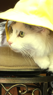 Oliver the cat in a yellow hat.