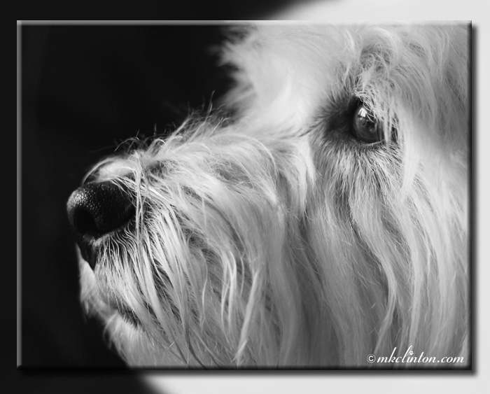 Close-up of Westie face (profile)