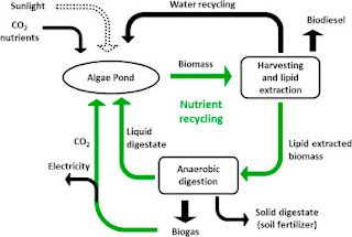 Integrated biodiesel and biogas production from microalgae