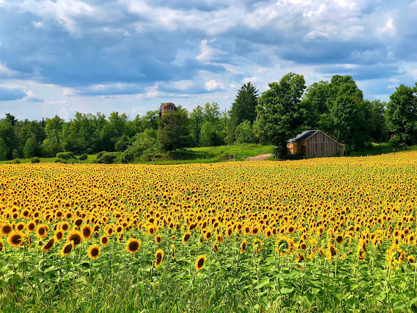 Be A Sunflower...Stand Tall And Find The Light.