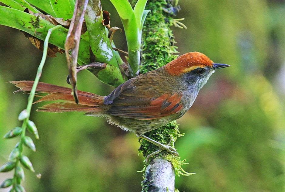 Rufous capped Spinetail