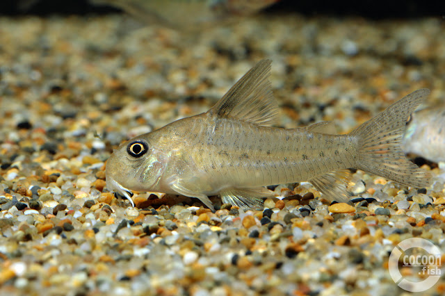 Corydoras sp. Alto Vaupes