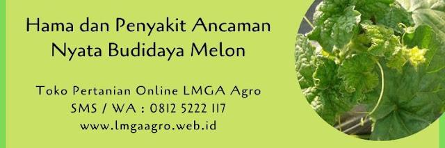 hama,penyakit,budidaya melon,melon,buah melon,benih melon,bibit melon,hama tanaman,lmga agro
