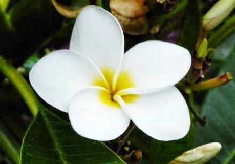 Gambar Wallpaper Bunga Melati Putih Cantik