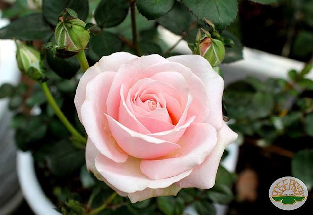 hoa hồng phấn đẹp nhất thế giới 1
