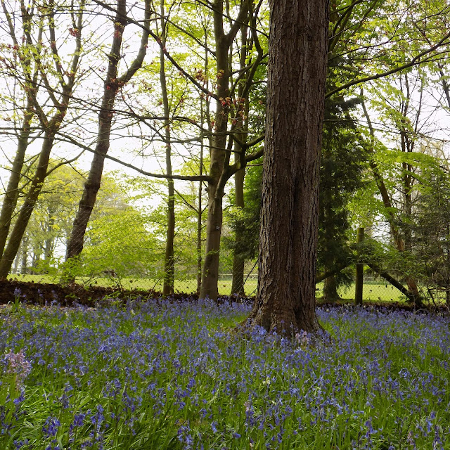 bluebell wood at Tatton Park