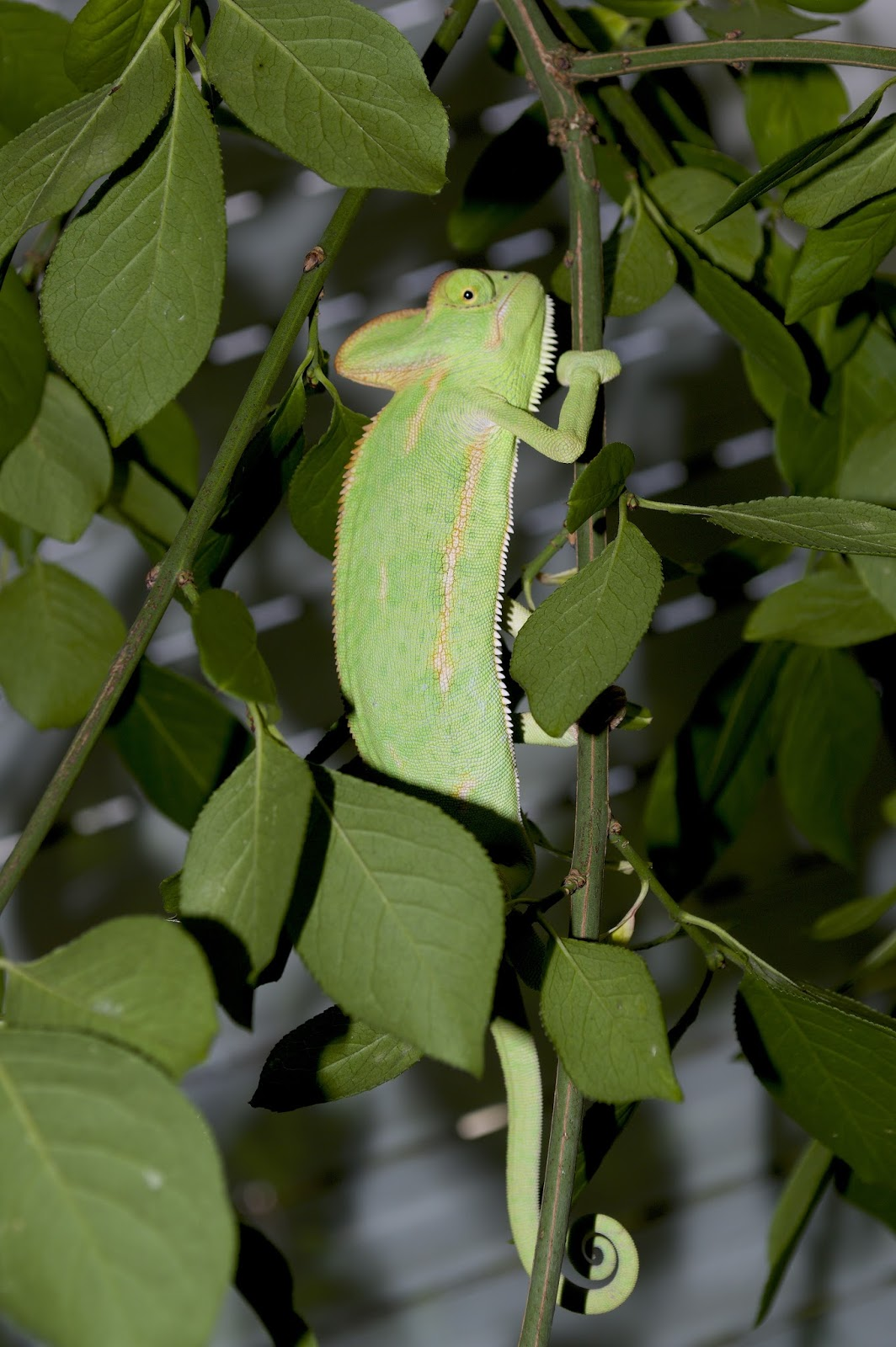 Chameleon perfectly disguised in its surrounding.