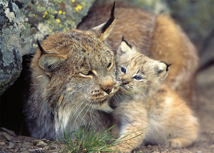 Top 5 Rarest Cats Almost Extinct
