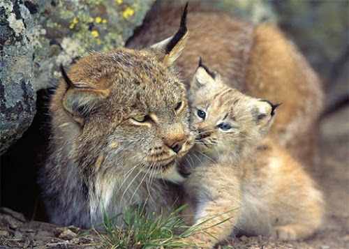 Almost Extinct: Top 5 Rarest Cats in the World