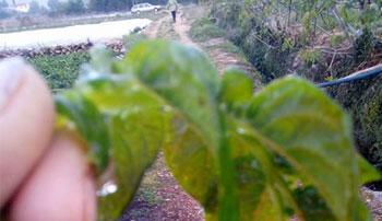 Crna subota u Ljubuškom: Mraz uništio sve poljoprivredne kulture, poljoprivrednici u očaju
