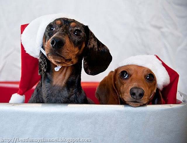 Two dachshunds in red caps