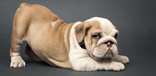 5 Tips When Looking At English Bulldog Puppies For Sale