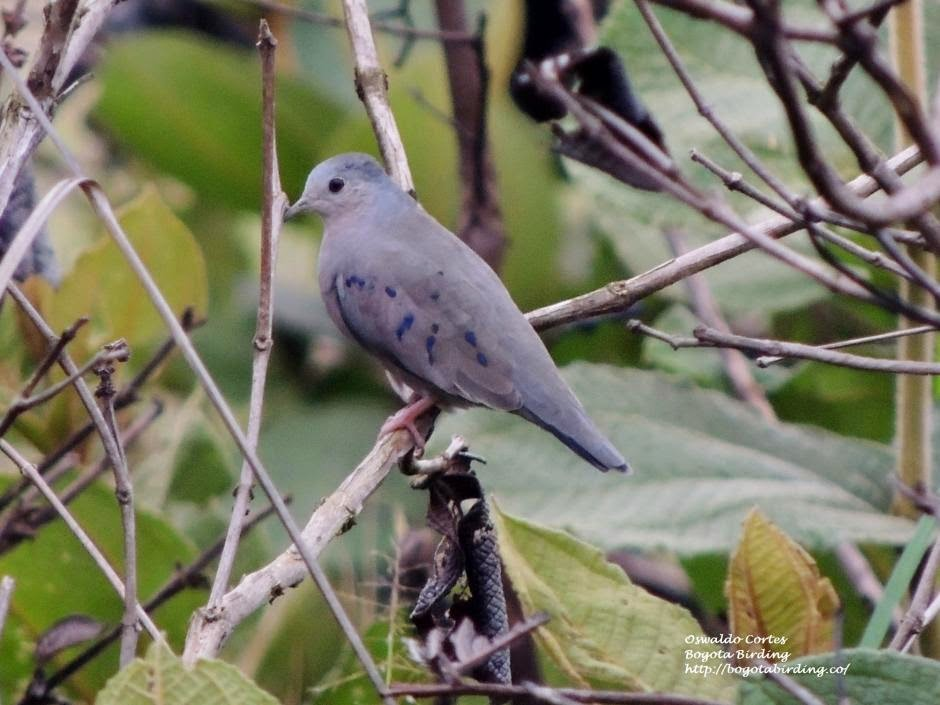 Plain breasted ground dove