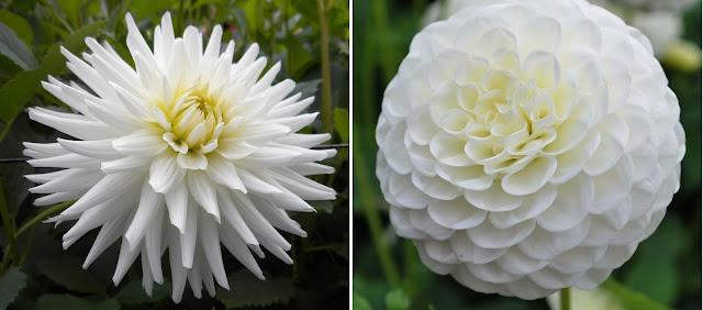 Dekor&Mentha Fehér Dália Kollekció virággumó