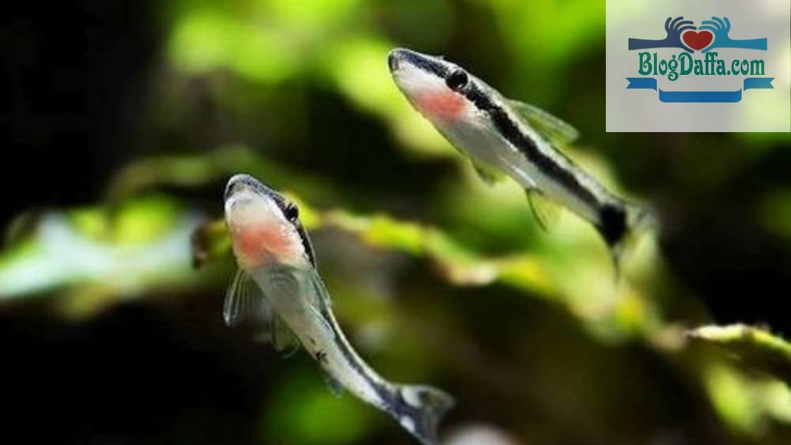 Ikan Otocinclus