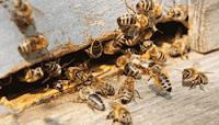 Ни одна пчела не может проникнуть в чужой улей